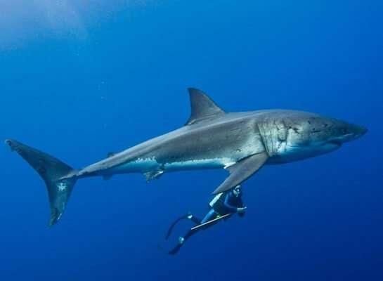 เที่ยวทัวร์ดำน้ำกับฉลาม(Shark Cage Tour)