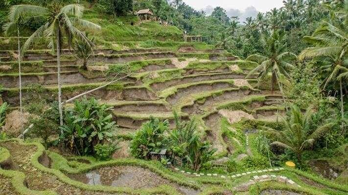 Tegallalang Rice Terraces view