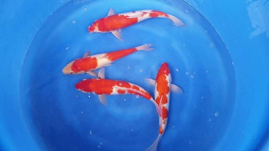 ปลาคราฟสามารถอยู่ในถังได้หรือไม่